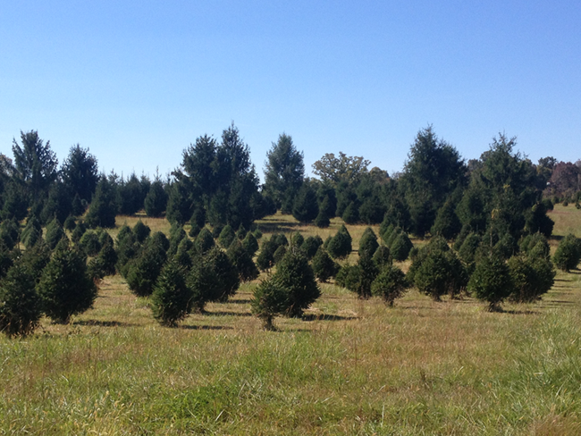 Pictures of Middleburg Christmas Tree Farm