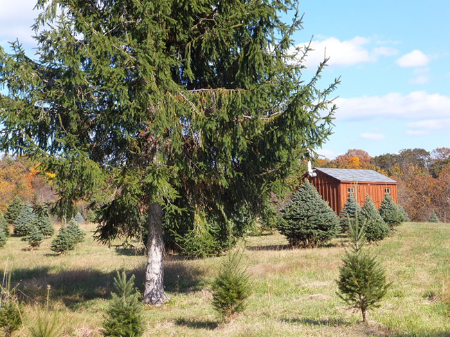 children with a freshly cut christmas tree workers - Middleburg Christmas Tree Farm